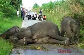 Tiga Bulan Setelah Melahirkan, Induk Gajah Yang Ditemukan Oleh Warga di Bengkalis- Riau Akhirnya Mati